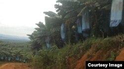 ကခ်င္ျပည္နယ္ရွိ တစ္ရႈးငွက္ေပ်ာစိုက္ခင္း (မွတ္တမ္းဓာတ္ပံု - Green Myanmar Environmental Services Co.,Ltd.)