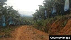 ကခ်င္ျပည္နယ္ ဝိုင္းေမာ္ေဒသမွာ စိုက္ပ်ဳိးထားေသာ တစ္သွ်ဳးငွက္ေပ်ာစိုက္ခင္း (Green Myanmar Environmental Services Co.,Ltd.)