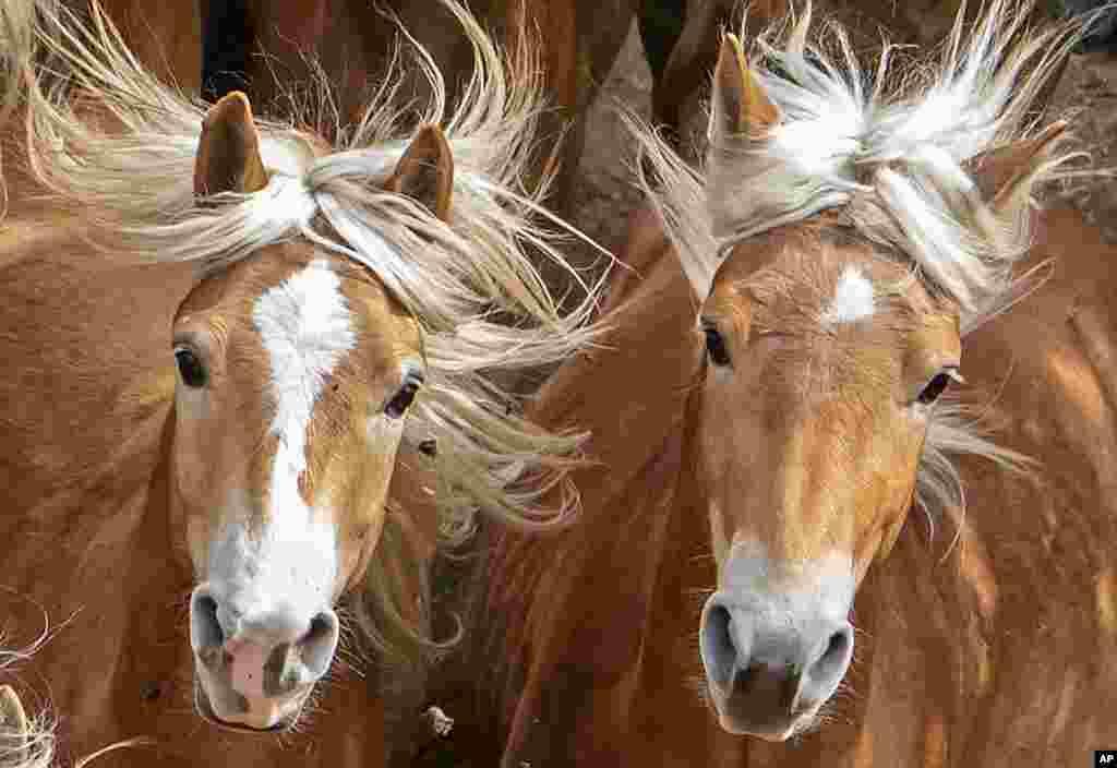تصویری از اسب های هافلینگر در آلمان. نام این اسب ها بر گرفته از روستای منطقه هافلینگ در ایتالیا است.