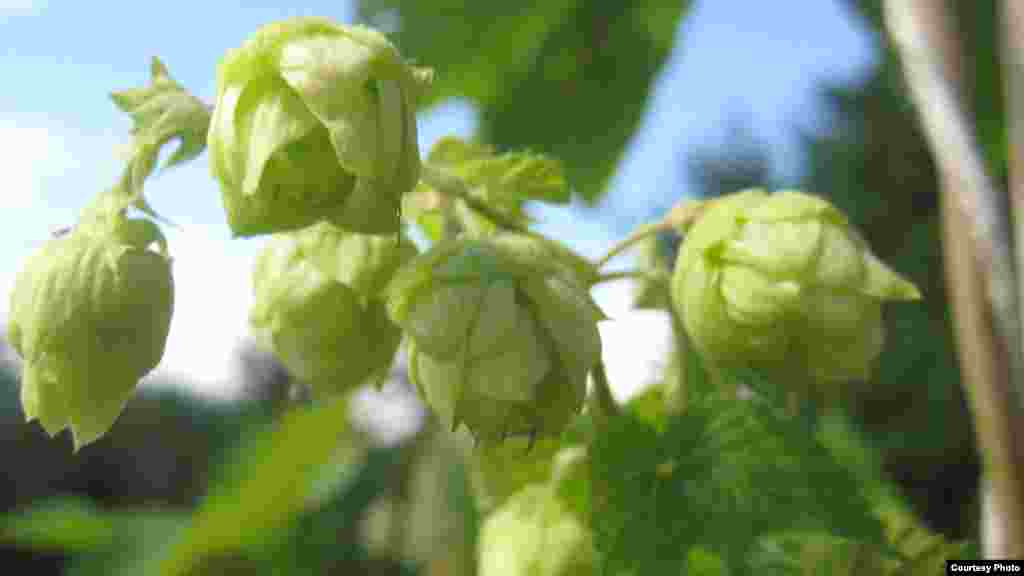 "De Beer says hops are the ""heart and soul"" of good beer. (Photo Credit: South African Breweries)"