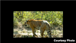 Tiger Conservation in Nepal