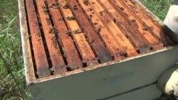 Declinan peligrosamente las abejas