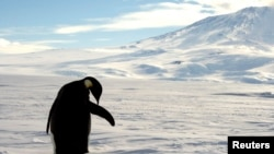 FILE - A foraging Emperor penguin preens on snow-covered sea ice around the base of the active volcano Mount Erebus, near McMurdo Station, the largest U.S. Science base in Antarctica, December 9, 2006. REUTERS/Deborah Zabarenko