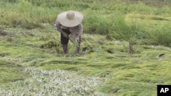 菲律宾农民收割受到台风损害的水稻