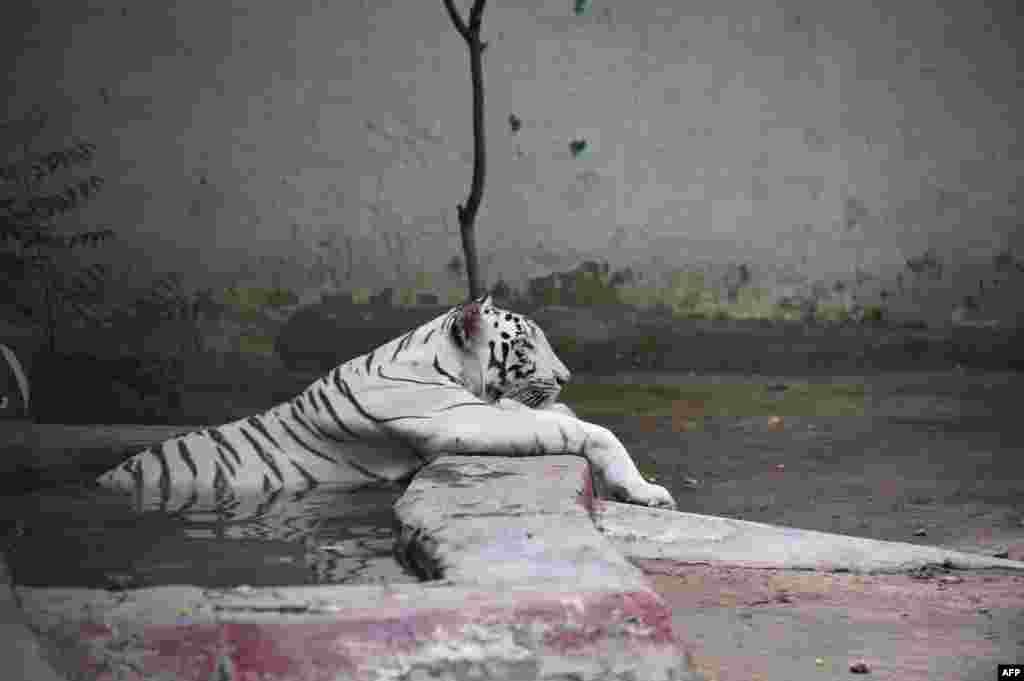 ខ្លាសរបស់ឥណ្ឌាមួយក្បាលសម្រាកនៅក្នុងស្រះមួយក្នុងជម្រករបស់វាក្នុងថ្ងៃដ៏ក្តៅ នៅឧទ្យាន Kamla Nehru Zoological Park ក្នុងក្រុង Ahmedabad កាលពីថ្ងៃទី២៦ ខែឧសភា ឆ្នាំ២០១៨។