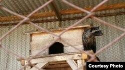 Luwak dalam kandang produksi kopi luwak (Foto: Asosiasi Kopi Luwak Indonesia).
