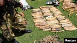 肯尼亞野生動物保護人員1月26日搜獲大量象牙。