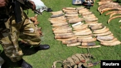 Kenya Wildlife Service says poaching activities have increased to the highest ever recorded loss in a single year in 2012, as price, demand of ivory in South-East Asian countries increase, January 16, 2013.
