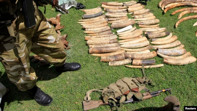 With the increases in price, demand of ivory in South-East Asian countries, Kenya Wildlife Service says poaching activities have increased to the highest ever recorded loss in a single year of 384 elephants and 19 rhinos in 2012, January 16, 2013.