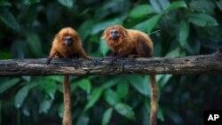 تامارین شیری طلایی، گونه ای از میمون ها که در معرض خطر انقراض قرار دارد