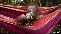 As featured in the IMAX® film Born to be Wild 3D, an infant orangutan takes a moment to enjoy the finer things in life. Photo copyright ©2011 Warner Bros. Entertainment Inc.