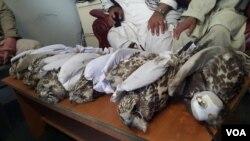 شکار بیش از ۱۳۸ نوع پرنده کمیاب بومی ومهاجر در افغانستان کاملأ ممنوع است