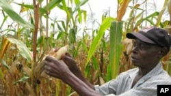 Joseph Dzindwa, who has expanded from a one-hectare to an eight-hectare maize farm in the last few years, checks his hybrid maize crop in Catandica, Mozambique. (File Photo)