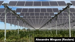 Solar panels are seen atop of the vineyard of winemaker Pierre Escudie in Tresserre, France, September 30, 2021. (REUTERS/Alexandre Minguez)