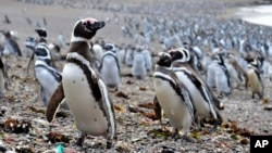 Penguins walk on a beach at Punta Tombo peninsula in Argentina's Patagonia, Feb. 17, 2017. Punta Tombo represents the largest colony of Magellanic penguins in the world.