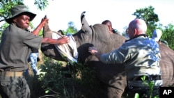 지난해 11월 남아프리카공화국 스쿠쿠자에서 밀렵 감시원들이 밀렵꾼들로부터 구출한 코뿔소를 안전한 곳으로 옮기고 있다. (자료사진)