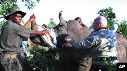Des gardes du parc préparent un rhinocéros dardé avant de le transporter par camion vers une zone sûre, protégée des braconniers, près de Skukuza, au Parc national de Kruger, Afrique du Sud, 20 novembre 2014. (AP Photo / Denis Farrell)