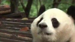 Exitosa reproducción de pandas