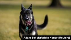 Вівчарка Байденів Мейджор бігає по галявині Білого дому після переїзду