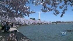 Фестиваль цвітіння японських вишень у Вашингтоні. Відео
