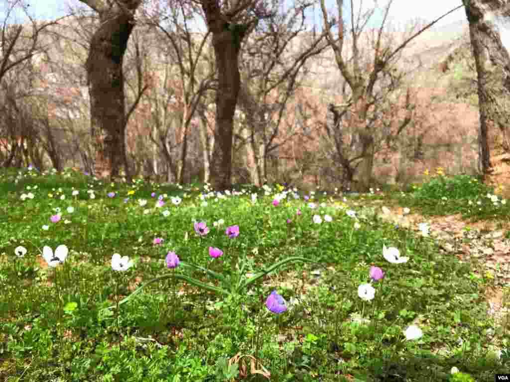 گلهای بهاری در باغهای نوسود کرمانشاه عکس: ارشاد رمضانی (ارسالی شما)