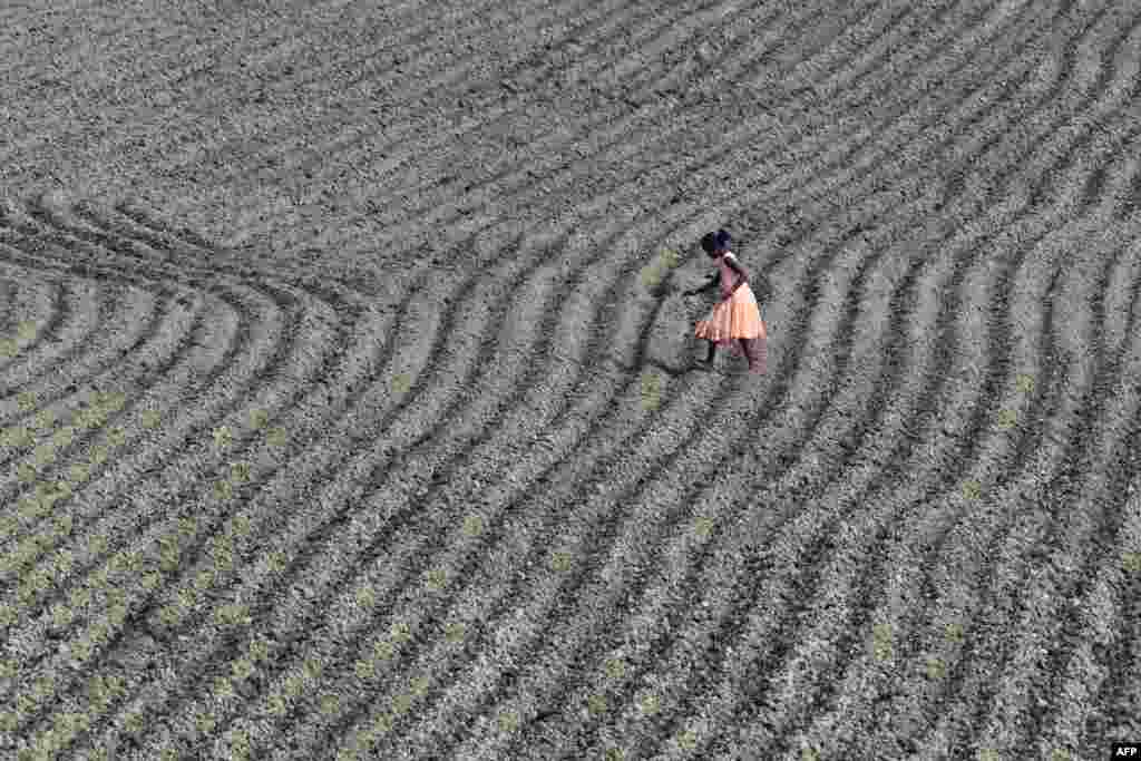 A young villager works in the maize field at Murkata village in Morigaon district, some 70 km from Guwahati, India.