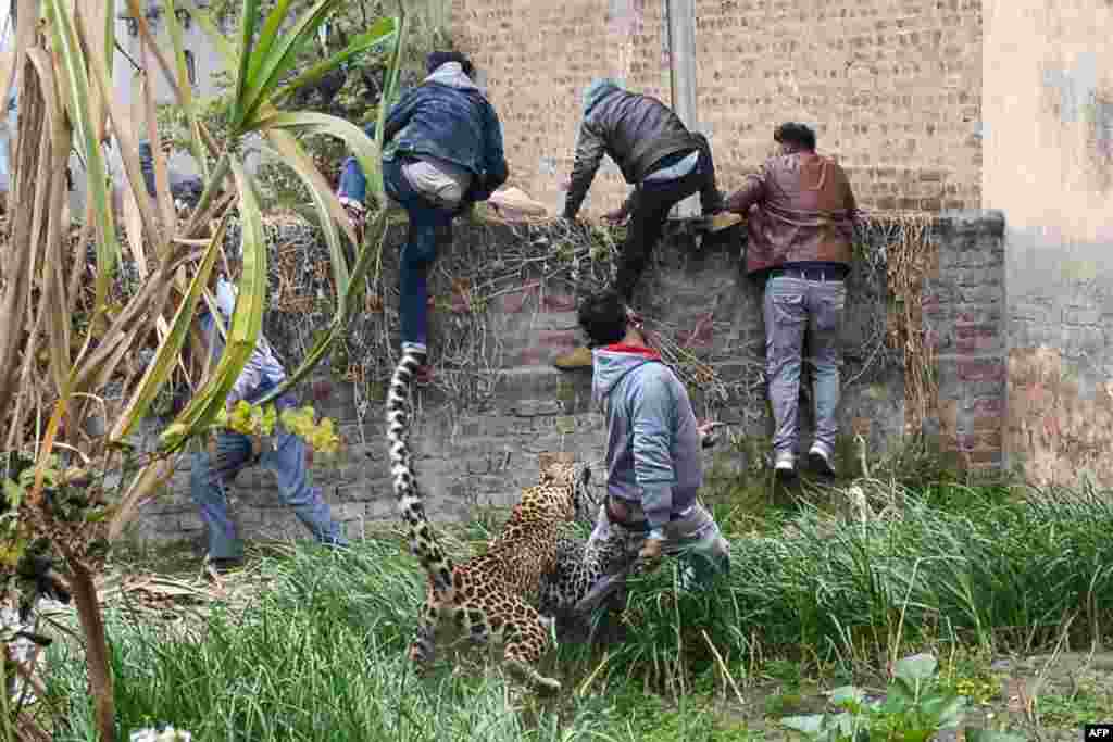 A leopard attacks a man as others climb a wall to escape, in the Lamba Pind area in Jalandhar, India.