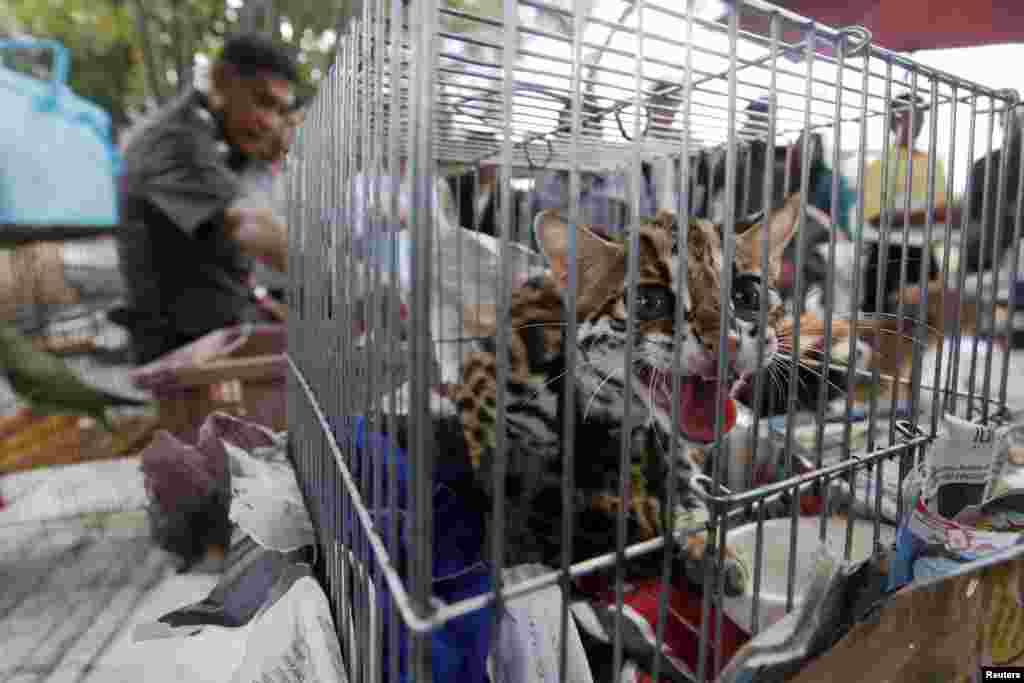 Cảnh sát Thái Lan tịch thu được hơn 1.000 động vật hoang dã trong một trận càn quét ngoại thành Bangkok, trong đó có 14 sư từ trắng, 12 con công, và 17 khỉ đuôi sóc.