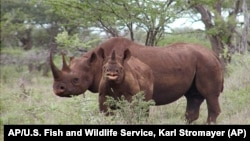 FILE- Photo released by U.S. Fish and Wildlife Service shows a black rhino male and calf in Mkuze, South Africa. (AP)