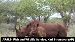 非洲犀牛是嚴重瀕危物種