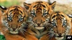 ข้อเสนอห้ามนักท่องเที่ยวในเขตอนุรักษ์เสือโคร่งในอินเดียจะช่วยปกป้องเสือได้จริงหรือ