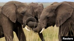 African Elephants are facing their worst crisis in years.
