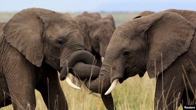 Elephants play at Kenya's Maasai Mara game reserve, southwest of Kenya's capital Nairobi, October 31, 2012. A new study shows elephants may choose to raid farmlands based on the lunar cycle.