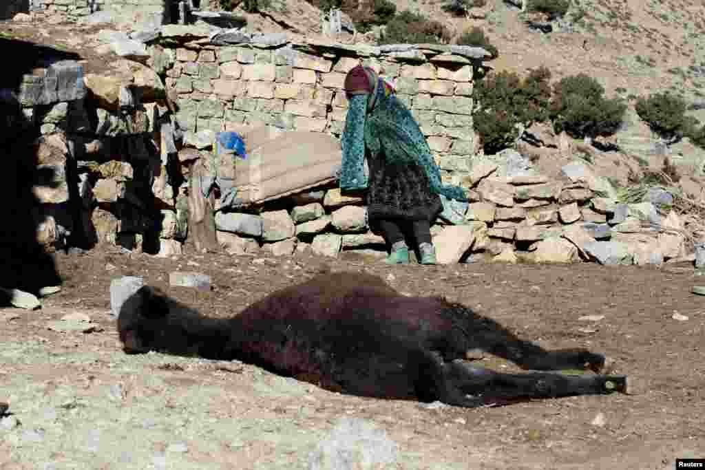 زنی در منطقه الاطلس الکبير مراکش بر بالاس سر الاغ مرده اش سوگواری میکند.