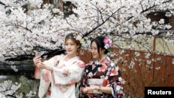 Women wearing Kimonos pose for a souvenir photo with blooming cherry blossoms in Kyoto, Japan.