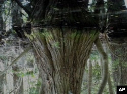 A watery reflection of a cypress tree that manages to survive despite being submerged.