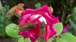 ပုရစ္မ်ိဳးႏြယ္ Cicada နဲ႔ ထူးျခားျဖစ္စဥ္ ကဗ်ာျပိဳင္ပြဲ