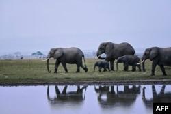 Sekelompok gajah berjalan di sepanjang tepi salah satu danau musiman pada Hari Gajah Sedunia di Taman Nasional Amboseli (365 kilometer tenggara ibu kota Nairobi) dekat Oloitiktok, wilayah timur Kajiado, 12 Agustus 2020. (Foto: TONY KARUMBA / AFP)