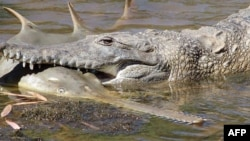 This undated handout photo released by the Department of Parks and Wildlife and Murdoch University on April 13, 2017 shows a freshwater crocodile preying on a young sawfish in Western Australia's Fitzroy River.