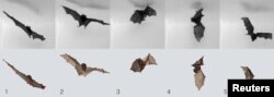 A series of photos showing a bat flying into an upside-down roosting position is shown in this undated handout photo obtained by Reuters, Nov. 16, 2015.