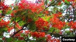 Mùa hè ở Togo cũng cũng phượng đỏ nở hoa (Ảnh: Bùi Văn Phú)