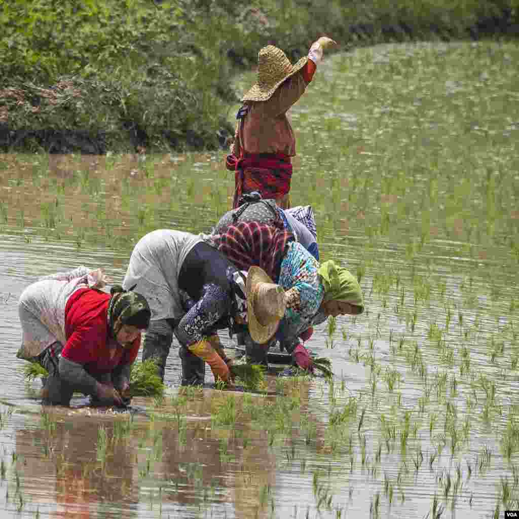 شالیزار برنج- گیلان عکس: (ارسالی شما)