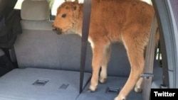 The baby bison stands in the back of a tourists' truck after they thought it was too cold. Their error cost the bison its life.
