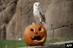 A barn owl stands on a jack-o-lantern carved from a pumpkin and used to symbolise Halloween or All Saints' Eve at the Zoom Torino zoo and amusement park in Cumiana, near Turin, northern Italy.