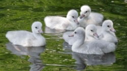 Three-day-old trumpeter swan babies swim together at the Cleveland Metroparks Zoo in Cleveland
