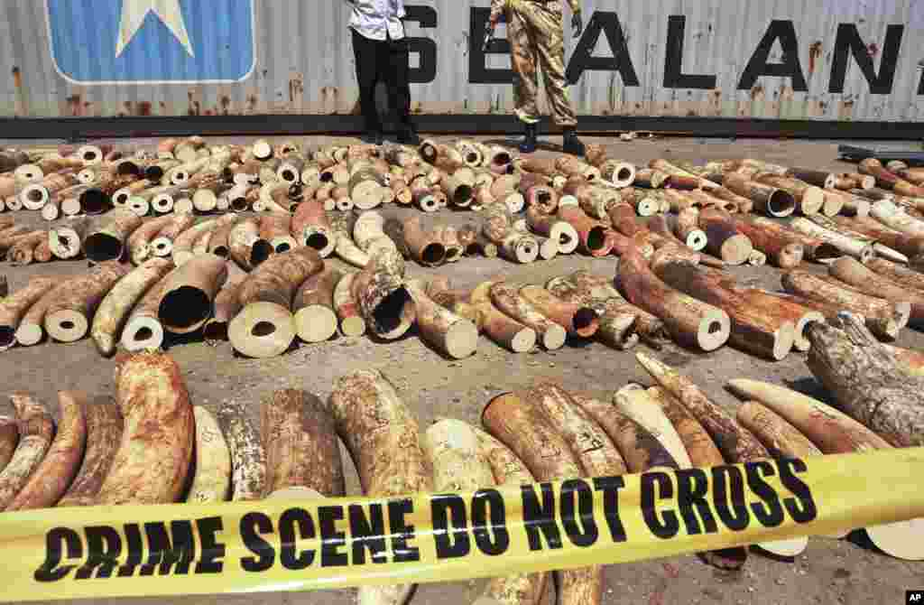 Kenyan officials display some of more than 1,600 pieces of illegal ivory found hidden inside bags of sesame seeds in freight traveling from Uganda, in Kenya's major port city of Mombasa, Oct. 8, 2013.