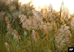 Rumput gelagah atau phragmites tumbuh dengan cepat dan agresif.