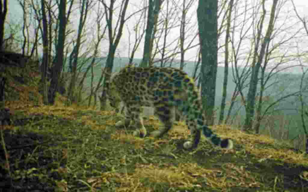 El Amur, a punto de la extinción. Aproximadamente sólo tres docenas de estos animales sobreviven en los bosques del sureste de Rusia, en la provincia de Primorskii.