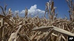 Kemarau parah tahun ini telah merusak sebagian besar lahan pertanian dan gagalnya panen jagung dan gandum di Amerika (foto: dok).