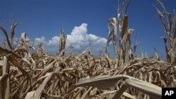 Kemarau parah menggagalkan panen jagung dan gandum di Amerika - eksportir pangan terbesar dunia - sehingga memicu kenaikan harga pangan global (foto: dok).